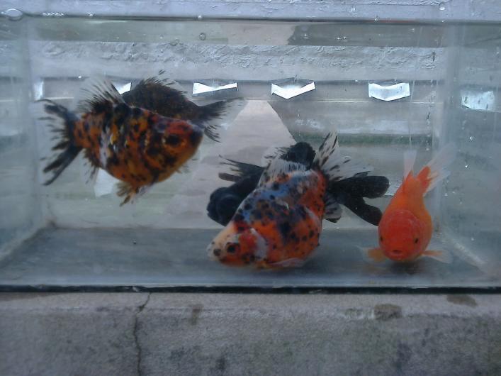 Criadero de peces venta por mayor de peces de agua fria en for Criaderos de peces de agua fria